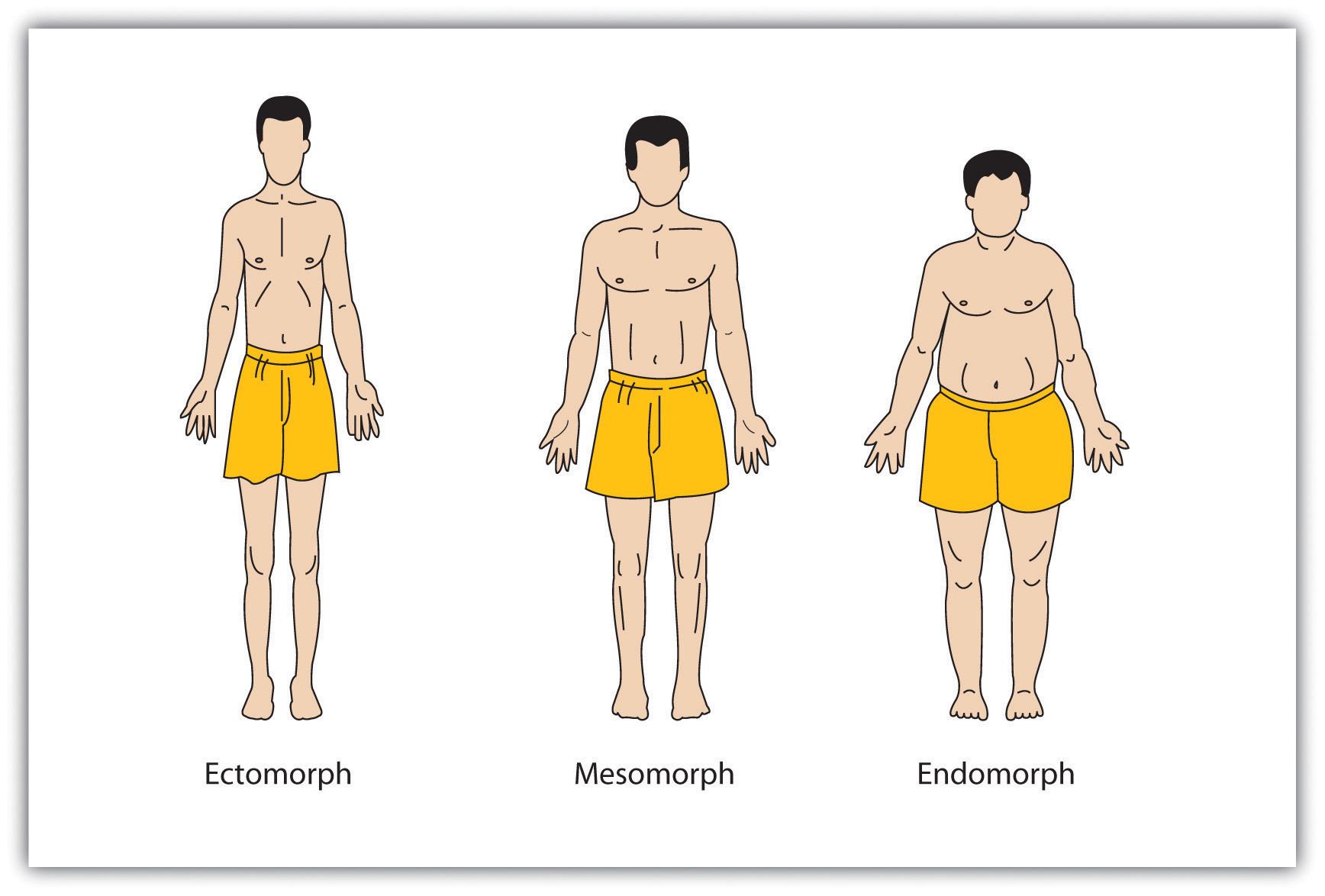 This diagram illustrates three body types: ectomorph, mesomorph, and endomorph.
