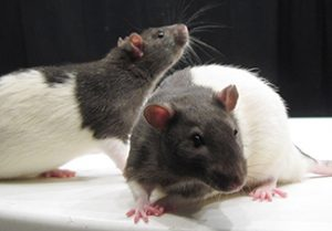 This picture shows two rats.