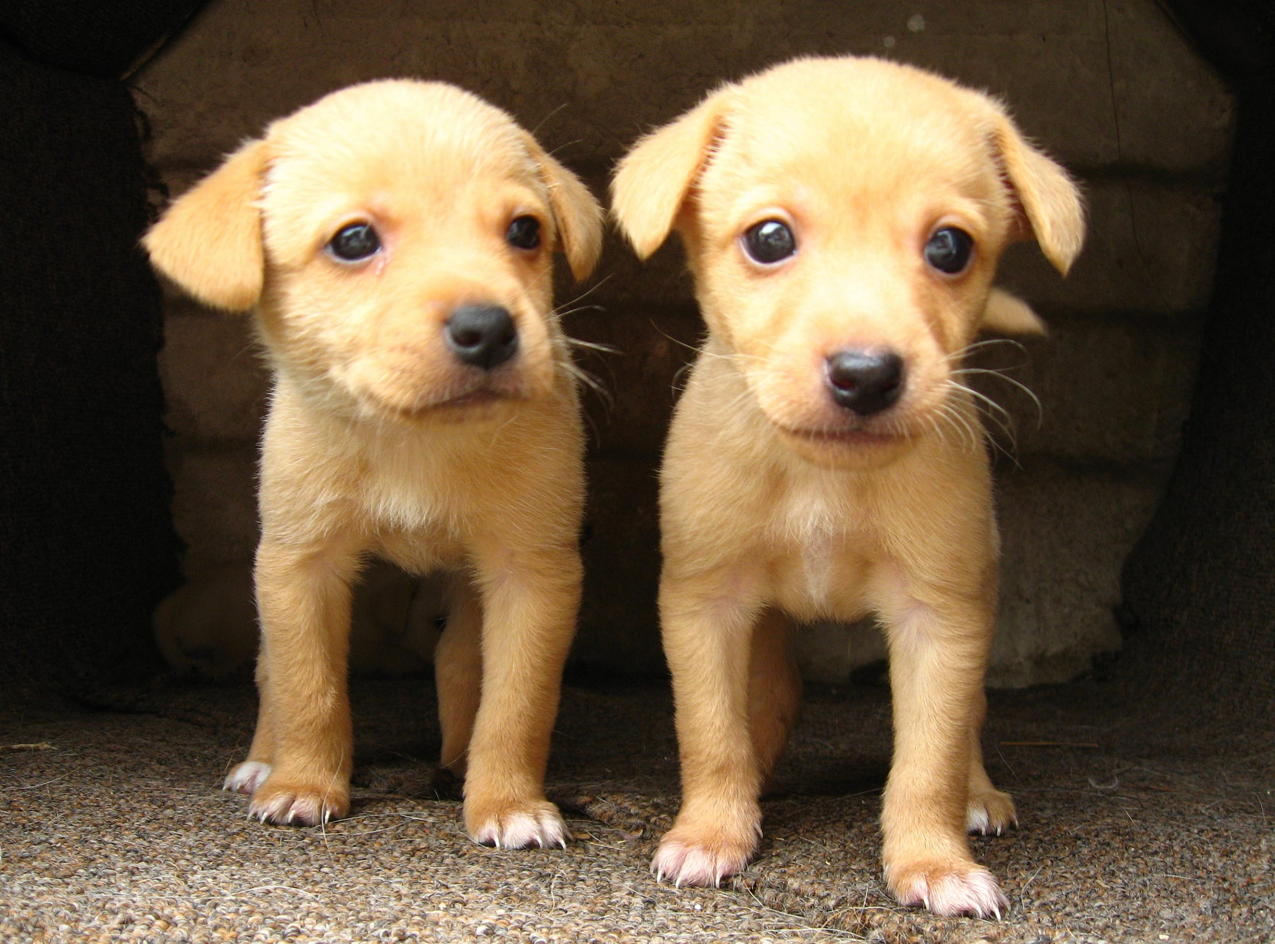 This picture shows two yellow puppies of similar age and size.