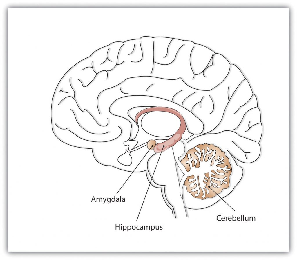 This diagram illustrates the location of the amygdala, hippocampus, and cerebellum in the human brain.