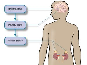 This diagram illustrates an outline of the human body that indicates various parties of the body related to the hypothalamic-pituitary-adrenal axis. The hypothalamus, pituitary gland, and adrenal glands are labeled. There is an arrow from hypothalamus to pituitary gland and another arrow from pituitary gland to adrenal glands. These arrows represent the flow between these organs.