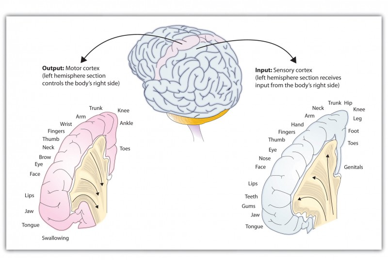 This graphic shows the output of the human brain is linked with the motor cortex, whereas the input is linked with the sensory cortex.