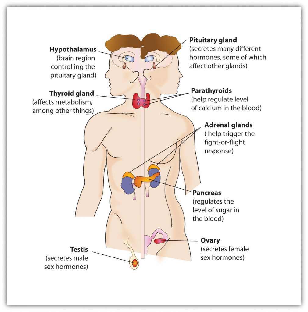 This diagram shows the location of glands in the human body, including the thyriod gland, hypothalamus, pituitary gland, parathyroids, adrenal glands, pancreas, ovary (female), and testis (male).