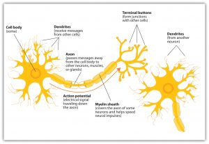 This graphic shows components of the neuron, including cell body, dendrites, axon, action potential, myelin sheath, and terminal buttons.