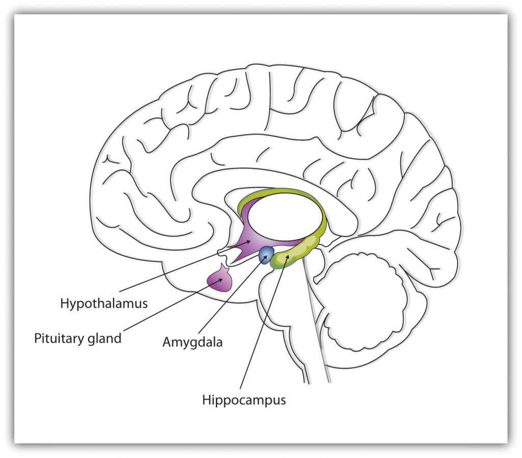 This graphic shows the major parts of the limbic system, including the hypothalamus, pituaitary gland, amygdala, and hippocampus.