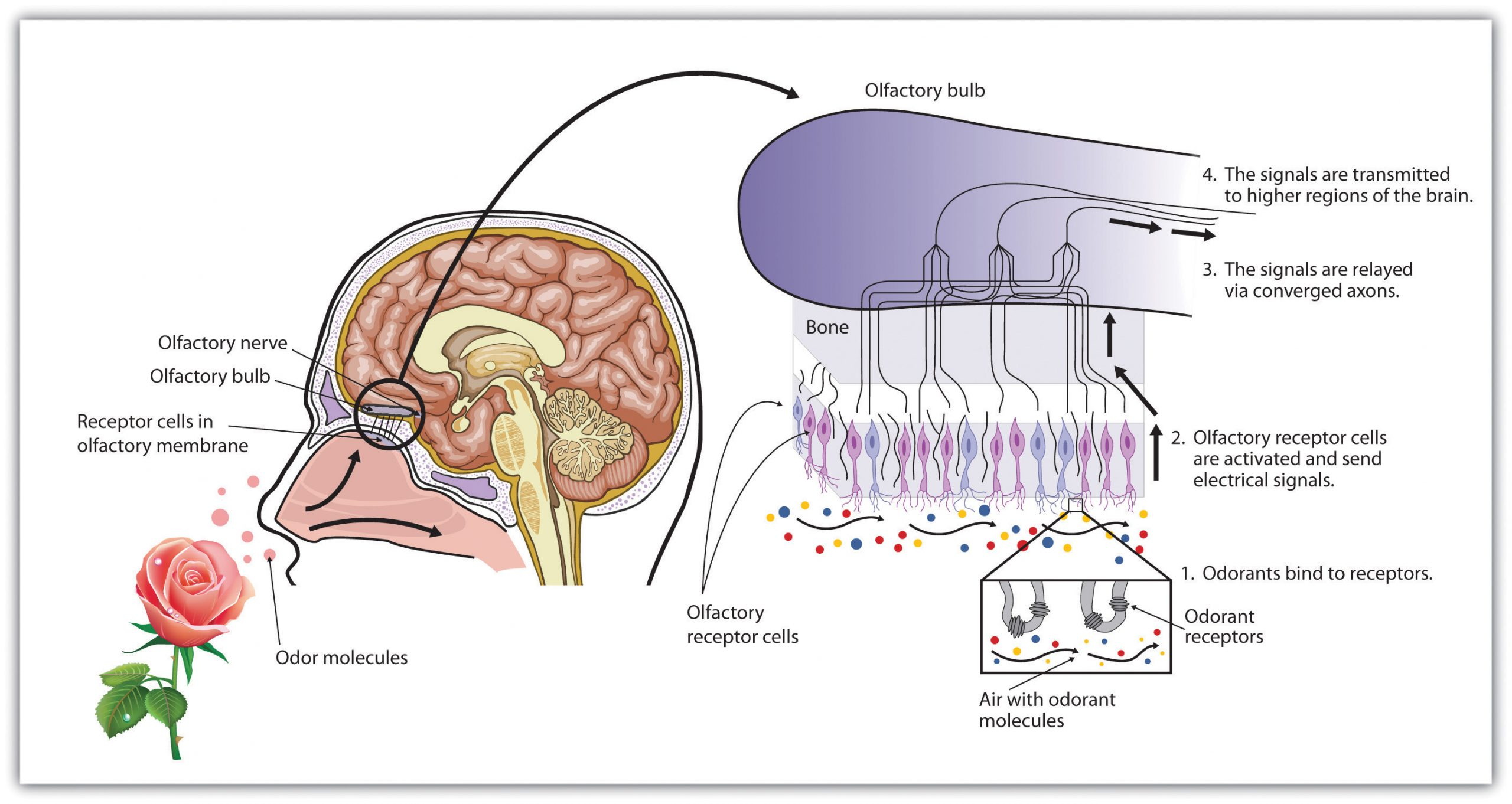 This diagram shows how odour molecules are sensed by olfactory receptor cells and signals are transmitted to higher regions of the brain.