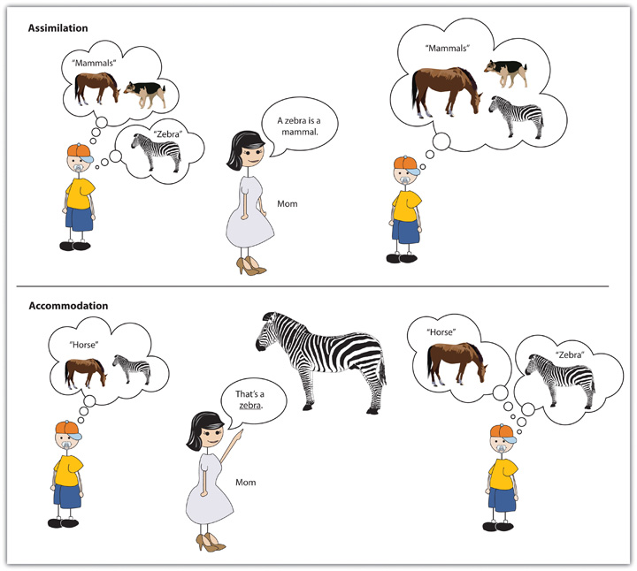 This diagram illustrates learning through assimilation, where a child is told that a zebra is a mammal like a horse and a dog, and learing through accommodation, where a child is told that a zebra is different than a horse.