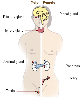 This pictograph shows the major endocrine glands of the human body, including the pituitary gland, pineal gland, thyroid gland, adrenal gland, pancreas, ovary (female), and testis (male).