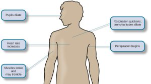This diagram illustrates the basic outline of a human body and indicates the body's various responses to fight or flight, including: pupils dilate, heart rate increases, muscles tense and may tremble, respiration quickens, bronchial tubes dilate, and perspiration begins.