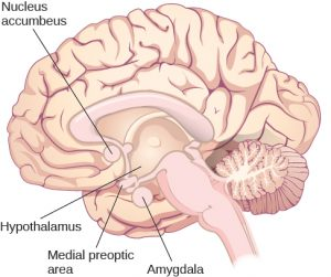 This diagram illustrates the locations of the nucleus accumbeus, hypothalamus, medial preoptic area, and amygdala in the human brain.