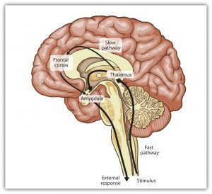 This diagram illustrates the slow and fast emotional pathways in the human brain.