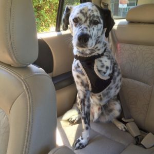 This picture shows a dog with three legs sitting in the backseat of a car.