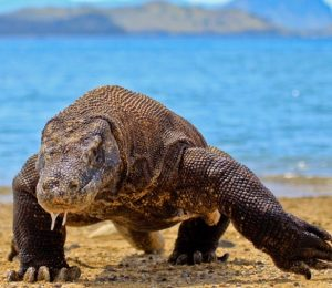 This picture shows a Komodo dragon walking across a beach.